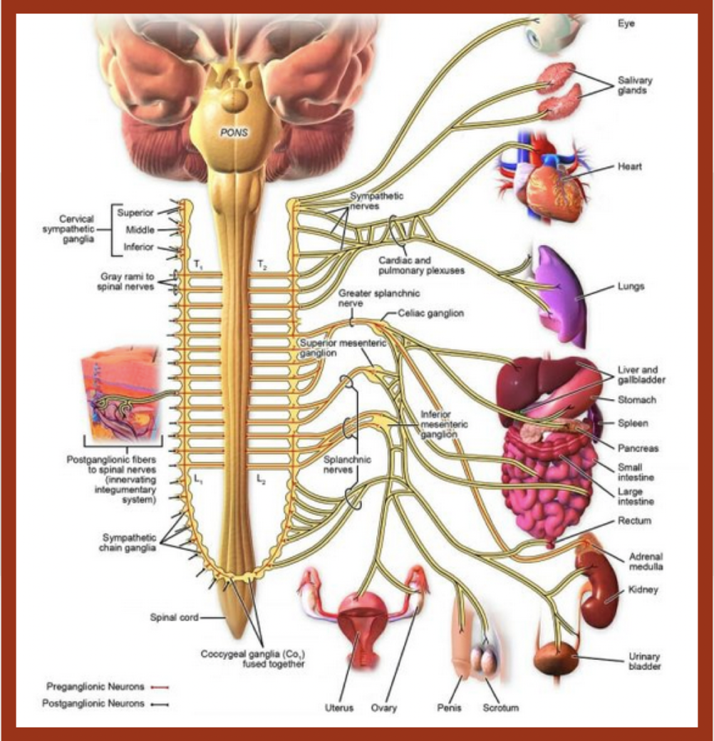 The Quranic account of  Seminal fluid Emission. Location of sympathetic trunk. qpeace.net